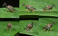 Eucharitid wasp (Eucharitidae sp.), Pacijan Island, Philippines