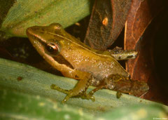 Mantellid frog (Blommersia sp.), Mantadia, Madagascar