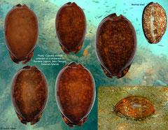 Cypraea arabica (35,5mm) and shipwreck forms (43,7-57,7mm) (Solomon Islands)