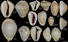 Cypraea annulus (assorted freaks)