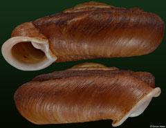 Plectopylis malayana (Malaysia, 18,8mm) (paratype)