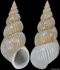 Epitonium friabile (Western Australia, 18,7mm)