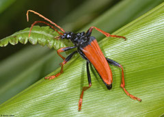 Longhorn beetle (Mastododera nodicollis), Mantadia, Madagascar