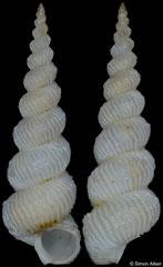 Epitonium bevdeynzerae (Philippines, 12,2mm)