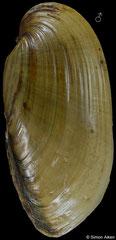 Lampsilis teres (Illinois, USA, 67,7mm) F++ €9.00