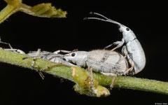 Weevils (Myllocerus sp.), Broome, Western Australia