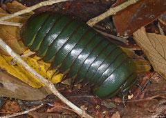 Emerald Madagascan pill millipede (Zoosphaerium neptunus), Mantadia, Madagascar