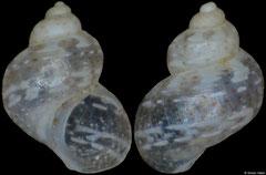 Tricolia delicata (Philippines, 2,1mm)