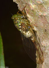 Cicada (Cicadidae sp.), Sahafina, Madagascar