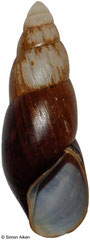Clavator eximius (Madagascar, 107mm) F++ (specimens for sale are 107mm+ and are of the same quality as the specimen illustrated)