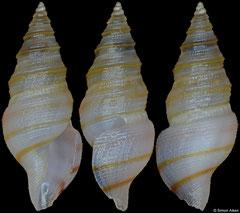 Microdrillia sp. nov. (Philippines, 7,3mm)