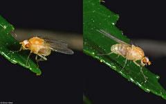 Yellow dung fly (Scathophaga stercoraria), York, UK