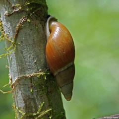 Placostylus strangei (New Georgia, Solomon Islands)
