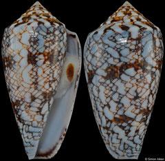 Conus victoriae (Western Australia, 43,2mm)
