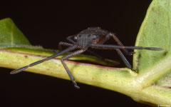 Shield bug (Pentatomidae sp.), Rockingham, Western Australia