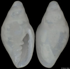 Dentimargo cruzmoralai (Caribbean Panama, 2,7mm) F++ €9.00