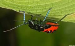 Jewel bug (Scutelleridae sp.) nymph, Lakxao, Bolikhamsai Province, Laos