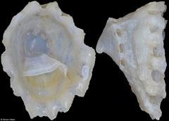 Crucibulum concameratum (Pacific Mexico, 7,4mm)
