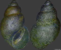 Elachisina ziczac (China, 3,8mm)