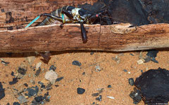Conehead katydid (Colossopus grandidieri), Ifaty-Mangily, Madagascar