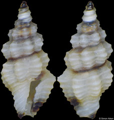 Lienardia fallax (Philippines, 4,1mm) F+++ €5.00 (specimens for sale are 3-4mm and are of the same quality as the specimen illustrated)