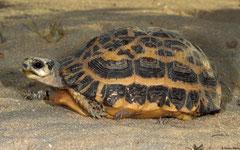 Spider tortoise (Pyxis arachnoides), Anakao, Madagascar