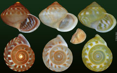 Palaeohelicina moquiniana (Suhu, Solomon Islands, 8,9mm, 8,6mm, 8,7mm) F+++ (specimens for sale are 8-9mm and are similar in quality to these illustrated; €1.00 for the orange form, €1.10 for the yellow form)