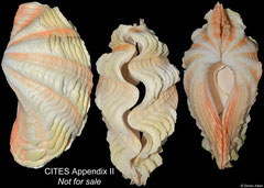 Tridacna maxima (Philippines, 129mm)