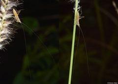 Conehead katydid (Conocephalus sp.) nymph, Broome, Western Australia