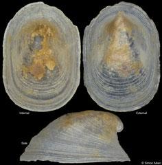 Copulabyssia tenuis (Sardinia, 1,6mm)