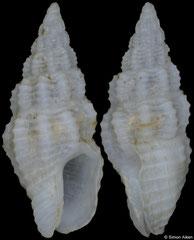 Nassarina cruentata (Pacific Mexico, 6,4mm)