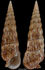 Rhinoclavis alexandri (South Africa, 51,0mm)