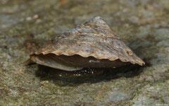 Geotrochatella mouhoti (SW of Tham Poukham, Vang Vieng, Ventiane Province, Laos)