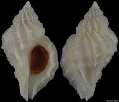 Crassilabrum crassilabrum (Peru, 27,1mm)