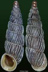 Alopia pomatias (Romania, 14,0mm) F+++ €2.50 (specimens for sale are 14mm and are of the same quality as the specimen illustrated)