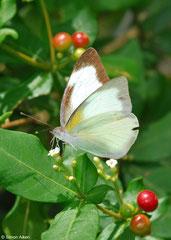 Great southern white (Ascia monuste eubotea), Pinar del Río, Cuba