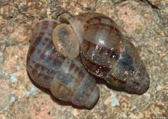 Chondropoma marmoreum (Cabo Rojo, Dominican Republic)