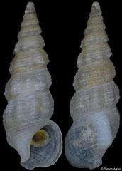 Ittibittium parcum (Philippines, 4,2mm)