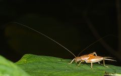 Cricket (Gryllidea sp.), Samal Island, Philippines