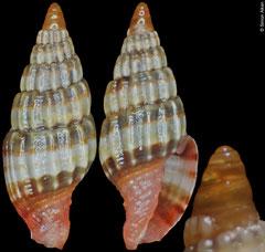 Vexillum diutenerum (Philippines, 7,1mm)
