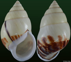 Amphidromus atricallosus vovanae (Vietnam, 51,8mm) F+++ €16.00 (specimens for sale are 49-51mm and are of the same quality as the specimen illustrated)