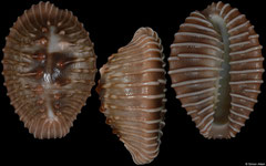 Pusula radians (Pacific Panama, 19,9mm) F+++ €5.50 (specimens for sale are 19-20mm and are of the same quality as the specimen illustrated)