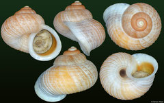 Annularisca heynemanni (Cuba, 14,2mm)