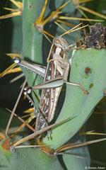 Bird locust (Cyrtacanthacridinae sp., cf. Schistocerca), Ifaty-Mangily, Madagascar