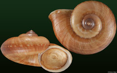 Cyclophorus mansuyi (Laos, 31,2mm) F+++ €22.00 (specimens for sale are 29-31mm and are of the same quality as the specimen illustrated)