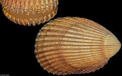 Vasticardium hyllebergi (Vietnam, 88,7mm)
