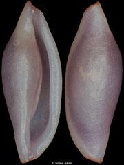 Neosimnia arcuata (Ecuador, 5,5mm)