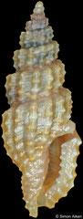 Kermia sp. (Philippines, 7,2mm)
