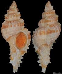 Siratus lamyi (French Guiana, 44,5mm)
