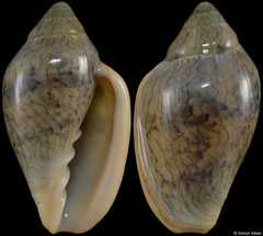 Marginella lineolata (South Africa, 28,6mm) F++ €15.00 (specimens for sale are 26-28mm and are of the same quality as the specimen illustrated)